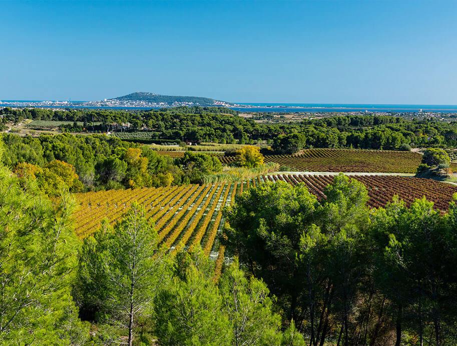 La coopérative des vignerons Montagnac Domitienne produit ses vins picpoul de Pinet, IGP Pays d'Oc dans une agriculture durable
