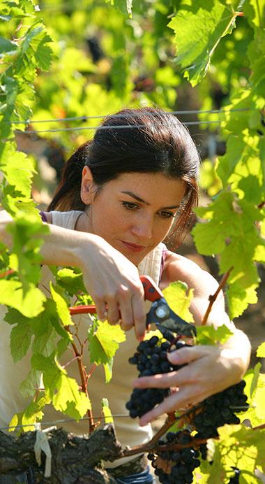 Les viticulteurs de la coopérative des vignerons Montagnac Domitienne livrent le fruit de leur travail chaque année sur Tourbes, Lézignan-la-Cèbe, Loupian, Cournonsec ou Montagnac